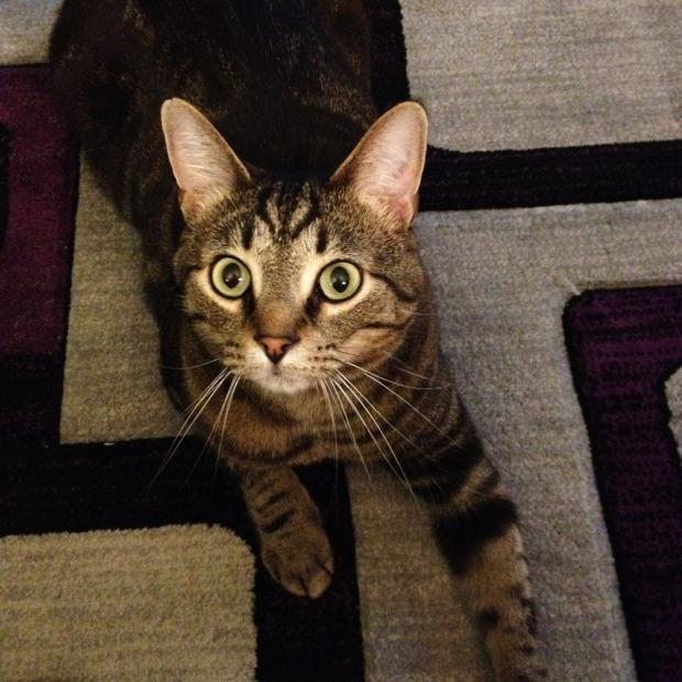 Goomba Cat, Pittsburgh